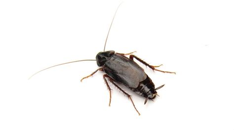 water beetle in house water bugs in house how to get rid 28 images how to get rid of waterbugs bob vila
