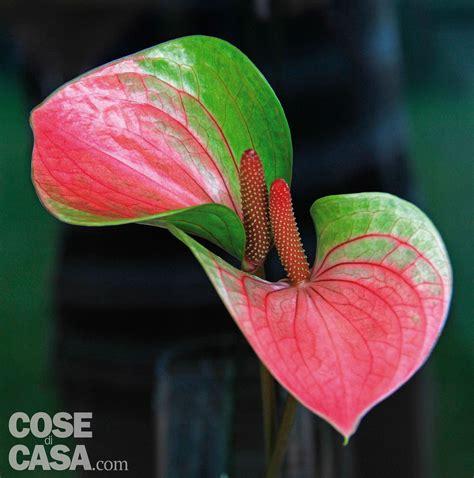 fiore anturium anthurium 5 regole per non sbagliare cose di casa