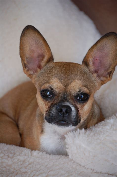 bullhuahua puppies for sale bullhuahua information pictures reviews and q a greatdogsite
