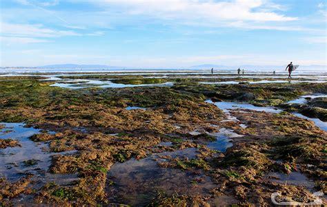 tide santa cruz pleasure point tide pools revealed during king tides