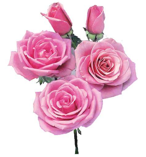 imagenes en png de rosas brilho e gifs rosas png