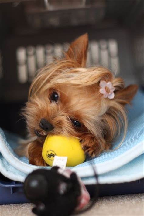 best toys for yorkie puppies 78 best terrier images on yorkies fluffy pets and small dogs