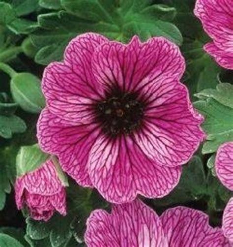 fiori perenni ombra le piante erbacee perenni speciali