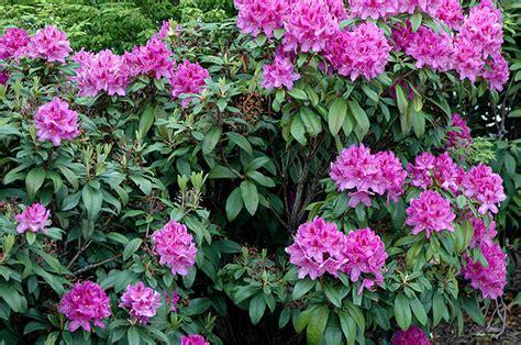 Foliage Of Plants - anah kruschke rhododendron oregon state univ landscape plants