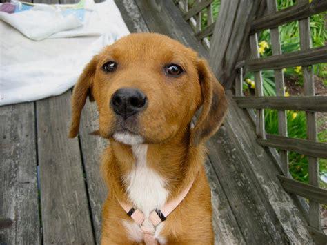 Redbone Coonhound American Foxhound Mix - AllMutt.com