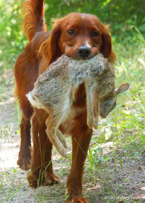 irish setter dog video irish setter history personality appearance health and