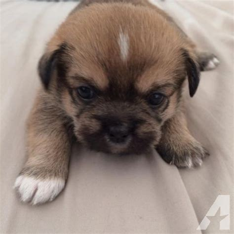 shih tzu chi mix shih tzu chihuahua mix puppies 6 weeks for sale in tacoma washington classified