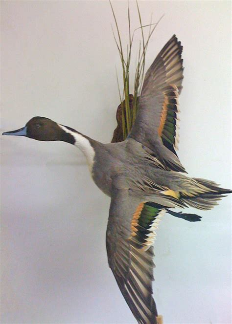 whidbey island taxidermy taxidermy birds