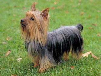 different color yorkies best 25 silky terrier ideas on terrier and