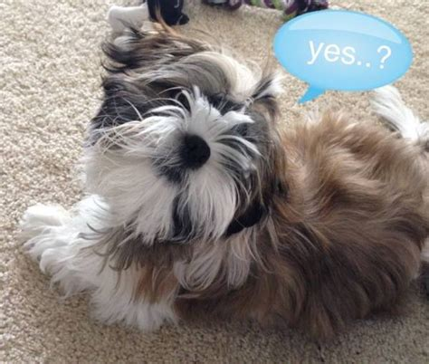 when is a shih tzu grown shih tzu breed information and photos thriftyfun