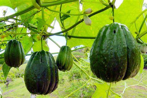 Khasiat Mistik Buah Buahan Kus Wong Alus | khasiat mistik buah buahan kus wong alus