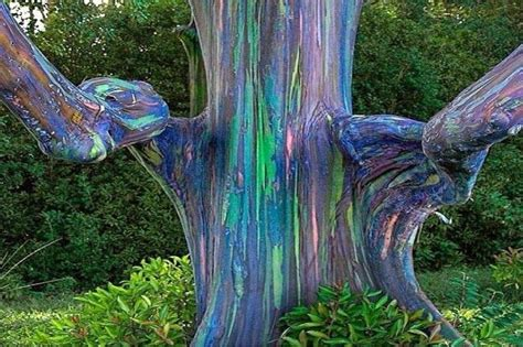 rainbow tree eucalyptus deglupta quot rainbow eucalyptus tree quot humor and