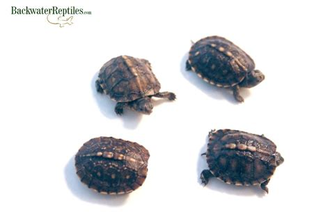 do turtles need heat ls how to care for a hatchling eastern box turtle