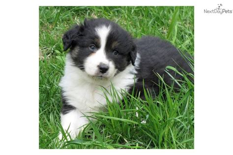 black australian shepherd puppy tri color aussiedoodle search results global news ini berita