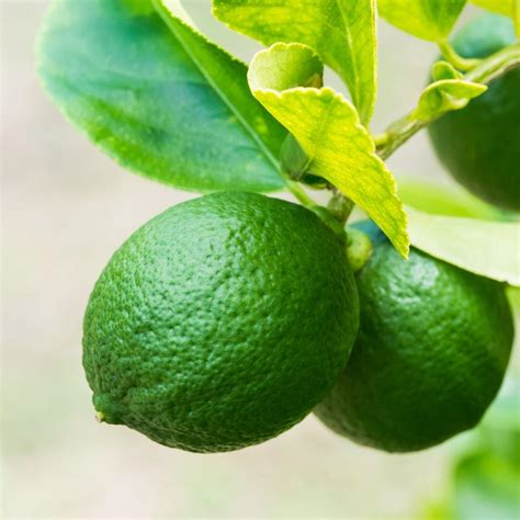 fruit 1 year bloomsz 32 in 1 year citrus pesian lime 08760