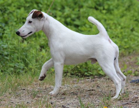 fox terrier smooth fox terrier puppies rescue pictures information temperament