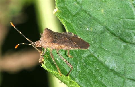 backyard pests image gallery squash bugs