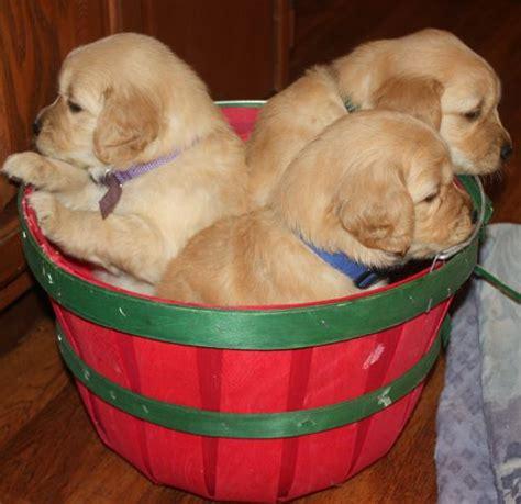 golden retriever puppies ks brenn family golden retrievers golden retriever puppies