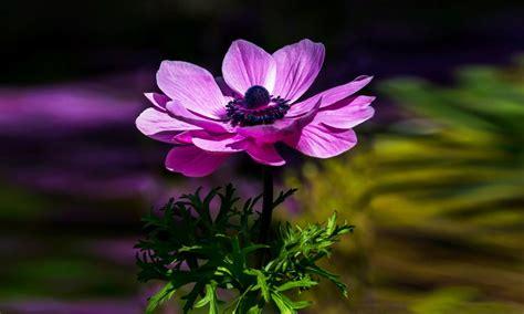 anemone purple flower desktop wallpaper hd  wallpaperscom