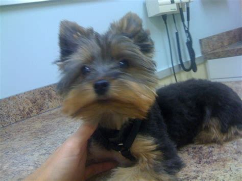 how to cut a yorkie poo s hair yorkie puppy cut