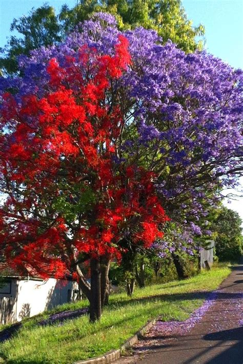 red illawara flame tree and jacaranda porch pool