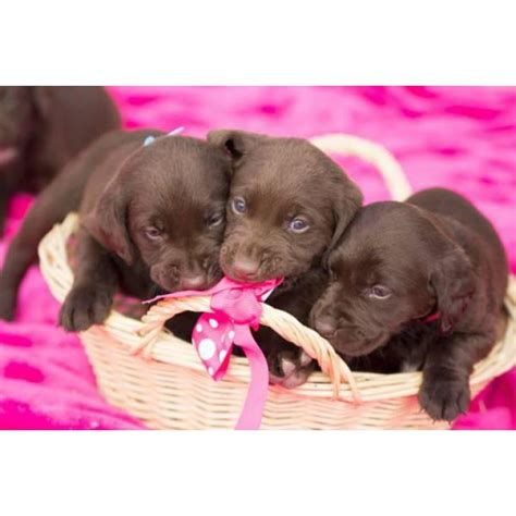 labrador puppies for sale in ct area akc chocolate lab puppies for sale 4 males left in arizona puppies for sale