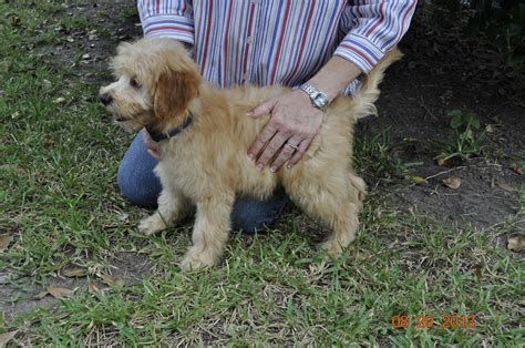 mini labradoodles houston just labs kennels home of mini goldendoodles mini