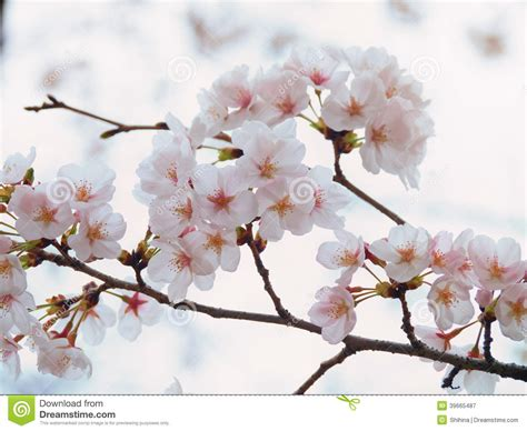 cherry tree branch yoshino cherry tree branch in bloom in the sky background stock image image of background