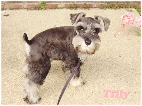 different haircuts for a miniature schnauzer mini schnauzer puppy hair cuts schnauzer miniature