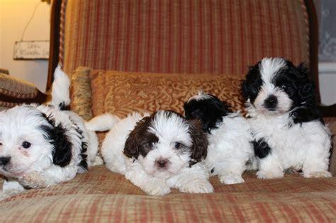 shih tzu puppies for sale in ta adoptieren hunde annhmen pet adoptieren welpen zu verschenken
