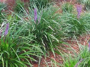 Fragrant Flowering Plants - giant liriope ponseti landscaping