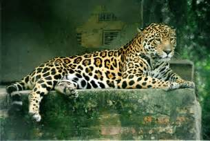 Who Are The Jaguars File Panthera Onca Jpg