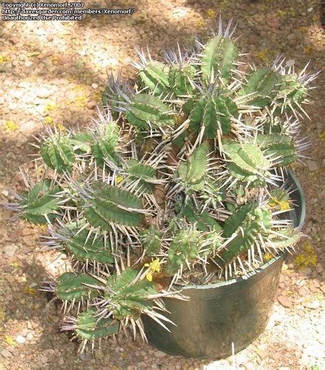 Desert Botanical Garden Gift Shop Plantfiles Pictures Euphorbia Species Euphorbia Ferox By Xenomorf