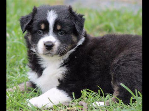 australian shepherd puppies tennessee australian shepherd for sale page 2 akc marketplace