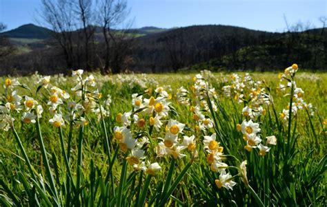 narcisi fiori il narciso il fiore annuncia la primavera
