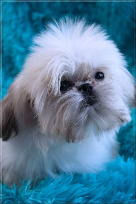 trained shih tzu puppies for sale imperial shih tzu puppies for sale imperial shih tzu