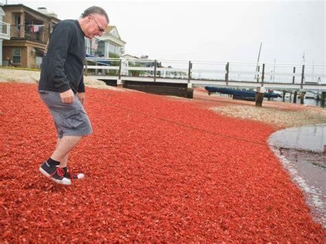 gling in california tuna crabs invade southern california shores