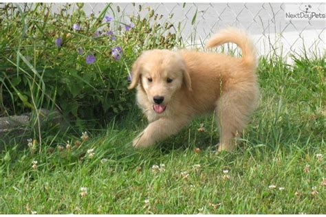 golden retriever puppies minnesota golden retriever for sale mpls golden retriever puppy for sale near st cloud minnesota