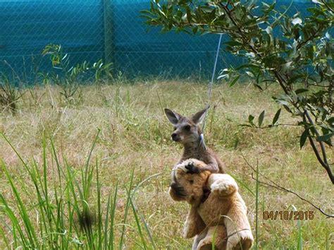 doodlebug australia orphan kangaroo clings to new best friend a teddy