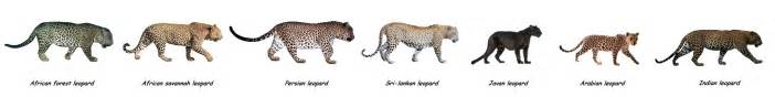 Leopard Jaguar Comparison Image Gallery Leopard And Jaguar Comparison