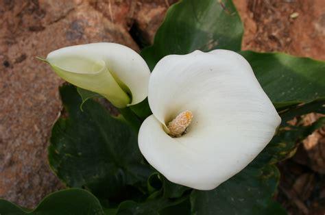 calla lily walter reeves  georgia gardener