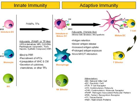 pattern recognition receptors in innate immunity host defense and immunopathology influence of adjuvants on innate and adaptive immune
