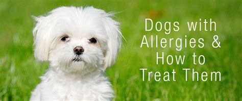 how to treat allergies dogs with allergies how to treat those allergies