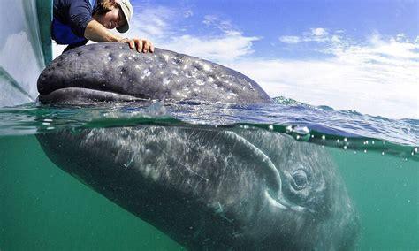 imagenes reales de ballenas avistamiento de ballenas en chile cu 225 ndo y d 243 nde verlas