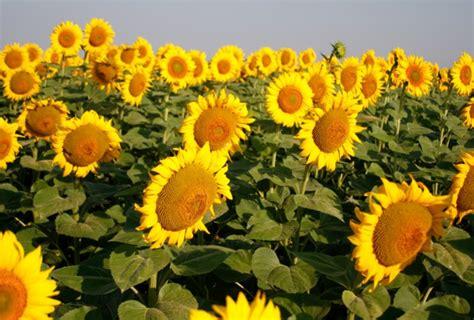 Bibit Bunga Matahari Kecil gambar bunga matahari terindah 2 slideshow kebun