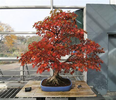 bonsai with japanese maples 0881928097 japanese maple bonsai flickr photo sharing