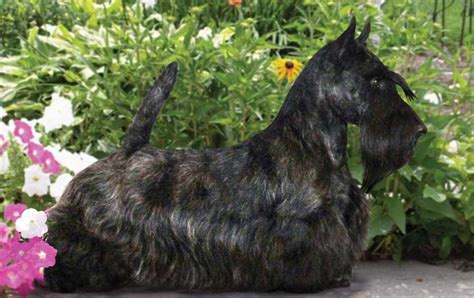 different cuts for scotties scottish terrier haircut hairstyle gallery