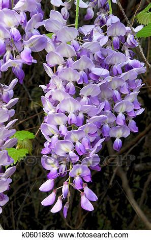 copy right free pictures of purple wisteria stock photo of wisteria vine k0601893 search stock images poster photographs pictures and