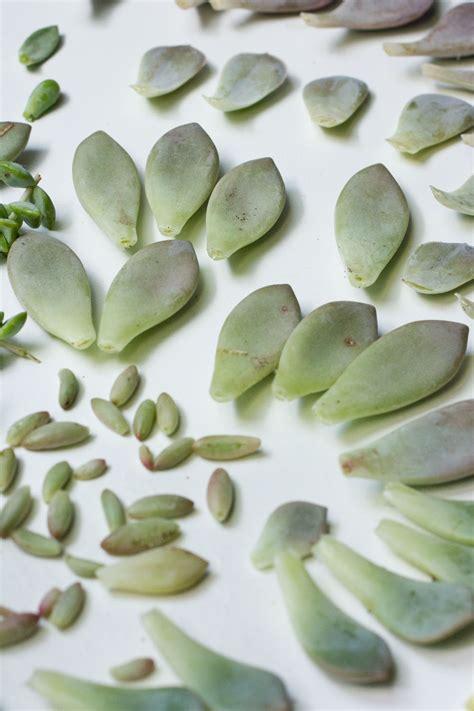Propagating Succulents Succulents And Plants On - propagating succulents from leaves succulents and