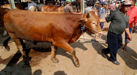 Bibit Sapi Per Ekor jangan sedih jika sapi mati dapat asuransi rp10 juta per